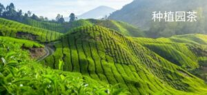 Чай плантационный