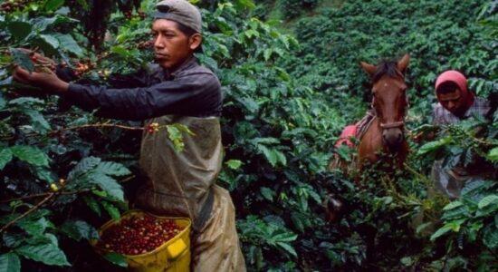 Как собирают урожай кофе
